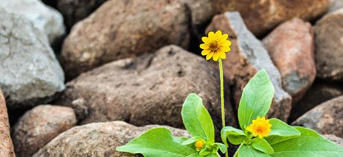 פרח פורח ליד סלעים בהוספיס גליל עליון